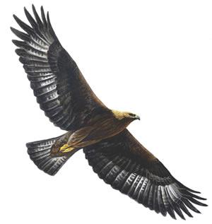 golden eagle_